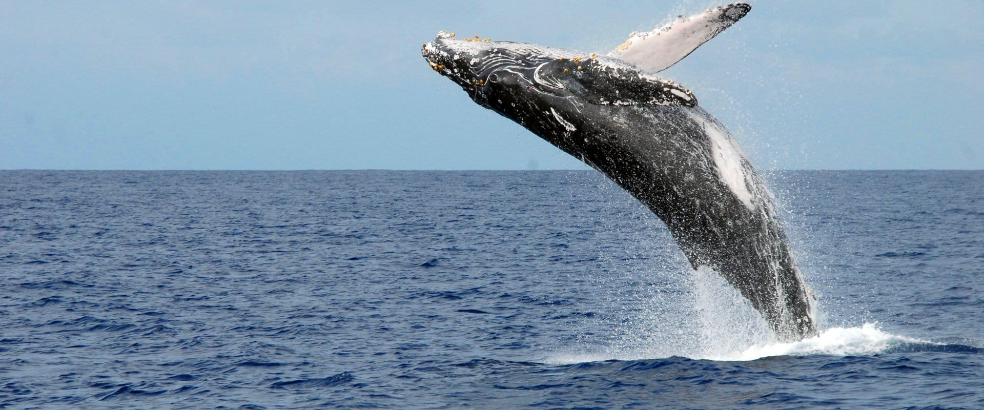 Humpback whales return to Hawaiian waters