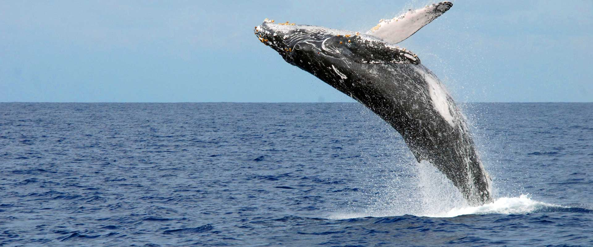 Whale Watching, Extremely popular during their season in Hawaii